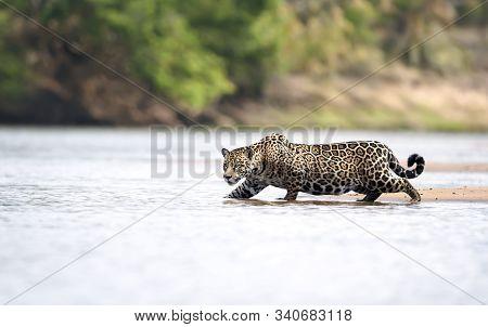 Close Up Of A Jaguar Stalking Prey In Water, Pantanal, Brazil.