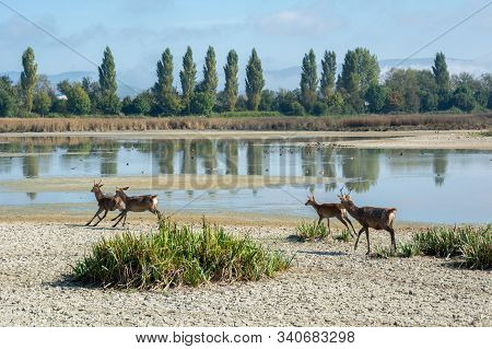 Four Wild Deers Walking In A Wetland Area. Landscape With Animals In The Wetland Area Of Salburua, I