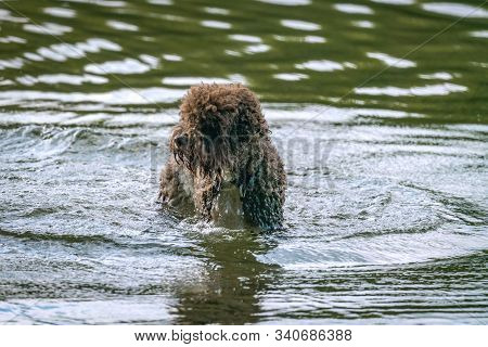 A Poodle Like Fury Brown Dog Is Having A Bath In Lake Grunewald In Berlin