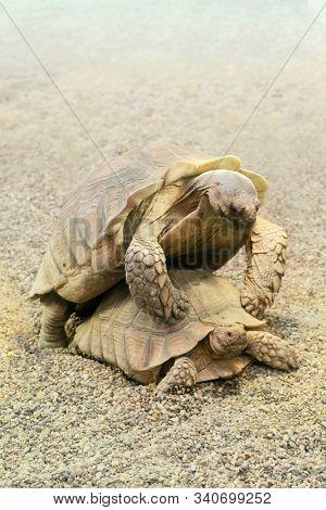 Desert tortoises in the sandy terrain of their natural habitat. Centrochelys sulcata.