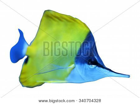 Beautiful Yellow Longnose Butterfly Fish On White Background