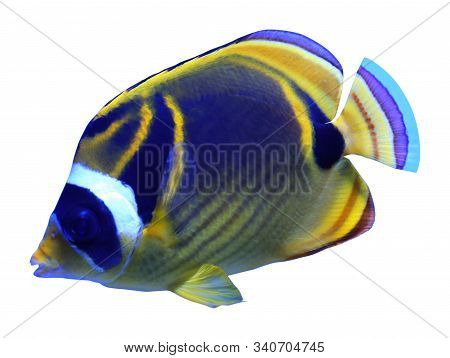 Beautiful Bright Raccoon Butterflyfish On White Background