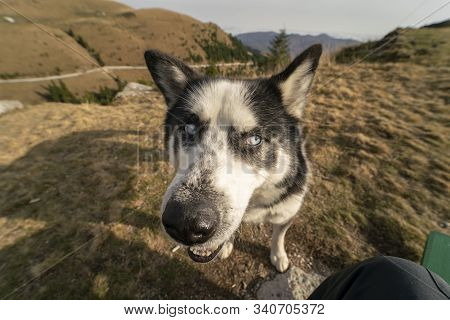 Funny Picture Taken With A Wide Angle Lens Of A Husky Dog with Blue Eyes Looking Sideways, Image W