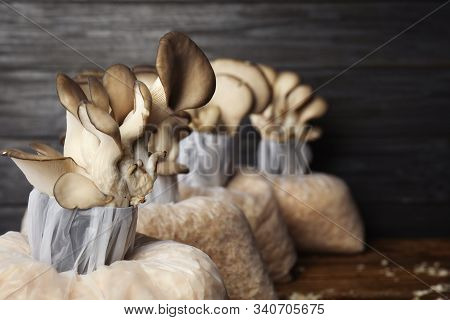 Oyster Mushrooms Growing In Sawdust On Dark Wooden Background, Space For Text. Cultivation Of Fungi