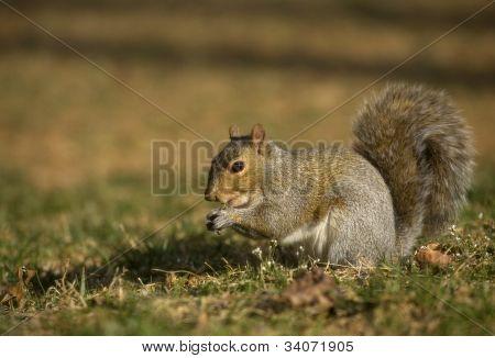 Shadowy Squirrel