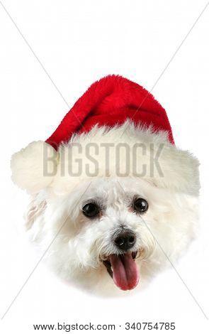 Christmas Bichon Frise Dog. Beautiful Pure Breed Bichon Frise Dog with a Red Christmas Santa Claus Hat. Bichon Frise Dogs love Christmas and celebrating with the family. Merry Christmas. Ho Ho Ho.