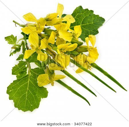 Flower of a mustard, Rape blossoms ,Brassica napus, isolated