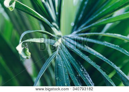 Rain Drops On Palm Leaf Nature Background. Nature Background Of Palm Leaves. Palm Tree Leaves Nature