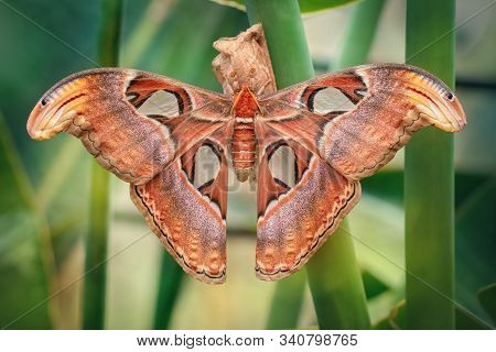 Atlas Moth Butterfly Sleeping By Day (attacus Atlas). Close-up