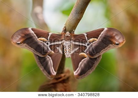 Atlas moth butterfly sleeping its environment by day (Attacus atlas). Close-up. Unfocused background