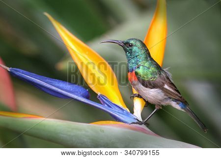 Lesser double collared sunbird on a colourful flower in Kirstenbosch Botanical garden in Cape Town South Africa poster