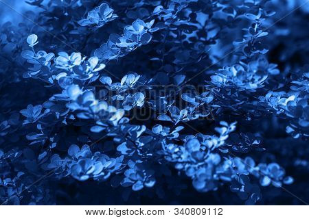 Classic Blue Background. Color Of The Year 2020. Barberry Thunberg Aurea.