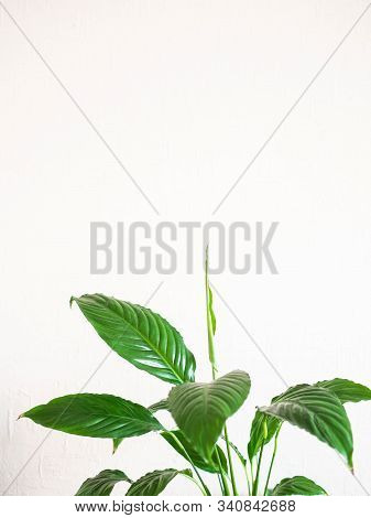 Indoor Plant - Spathiphyllum Against A White Wall. Copy Space