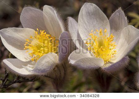 Pulsatilla Vernalis - Spring Pasqueflower