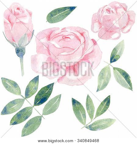 Watercolor Roses Botanical Illustration. Set On Pink Flowers And Green Leaves. Hand Drawn Blooms Iso