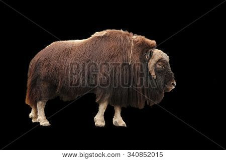 Brown Muskox Side View Isolated On Black. Ovibos Moschatus With Long Fur Stands In Profile. Cloven-f