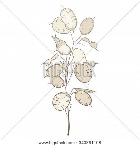 Vector Stem Of Outline Lunaria Or Honesty Or Moonwort Dried Flower Bunch In Pastel Beige Isolated On