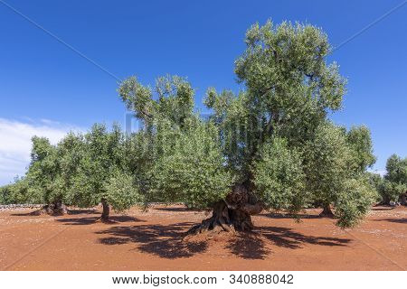 Olive Trees In The Countryside Near The Medieval White Village Of Ostuni, Province Of Brindisi, Apul