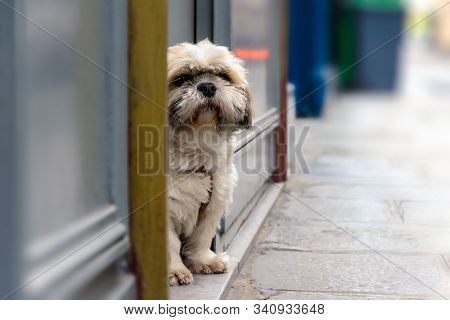 Maltese Dog On The Street. Small Maltese Dog On Street. Close Up Of Maltese Dog. Maltese Pet Dog Ani
