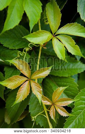 Beautiful Green Leaves Of Decorative Grape Close-up. Plants.