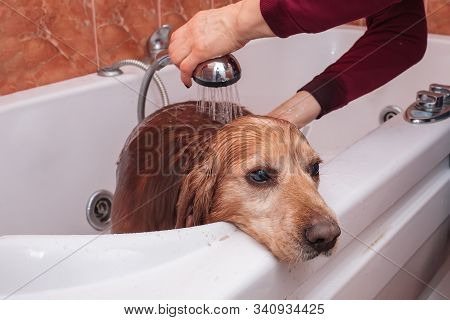 Sad Dog Muzzle In Bath, Process Of Washing Pet Owner In Bathroom. Caring For Animals