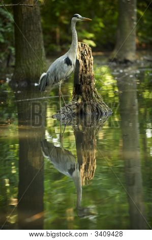 blue heron standing in a swamp close to Tisza river in Hungary poster
