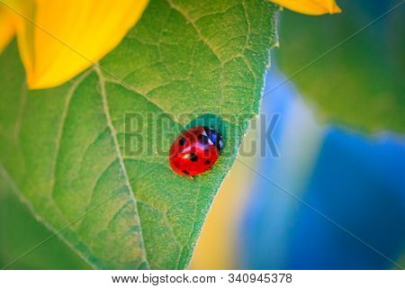 Macro Of Ladybug On A Blade Of Sunflower N The Morning Sun Ladybug - Bug. Natural Insecticide That D