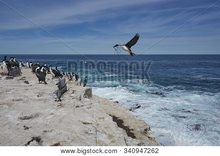Imperial Shag (phalacrocorax Atriceps Albiventer) Carrying Seaweed To Be Used As Nesting Material On