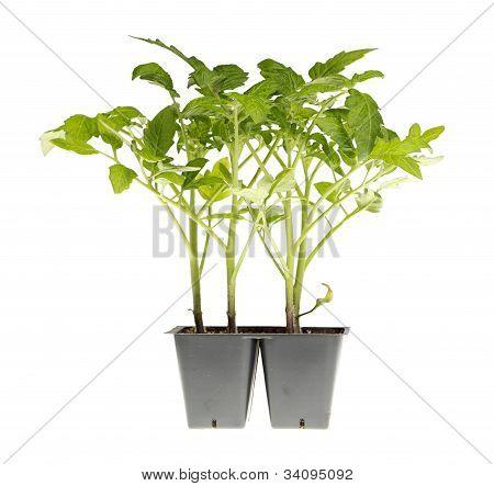 Tomato Seedlings Ready For Transplanting