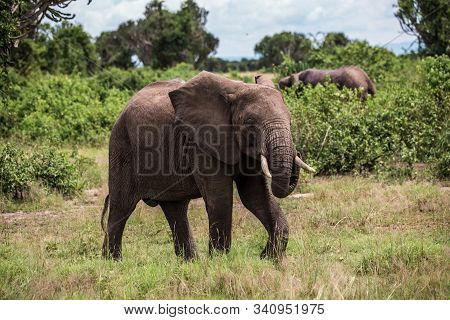 An Elephant Walks On The African Savannah, Among The Bushes And Candelabra Trees, Against The Blue M