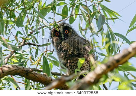 Long-eared Owl Asio Otus Juvenile Sitting On Branch Of Tree. Cute Young Nocturnal Raptor Bird In Wil