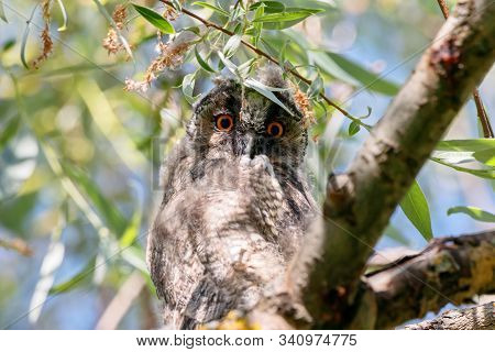 Long-eared Owl Asio Otus Juvenile Sitting On Branch Of Tree Portrait. Cute Young Nocturnal Raptor Bi