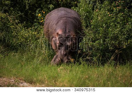 A Huge Hippo Chews Grass. This Is A Rarity As Hippos Usually Sit In The Water During The Day