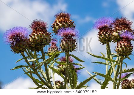 View Of Artichoke Heads With Flowers In Bloom In The Summer Garden. Macro Photography Of Lively Natu