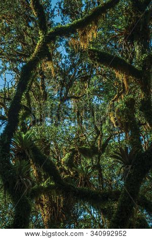 Tree Branches Covered By Lichen And Epiphytes Amid Lush Forest In Aparados Da Serra National Park Ne