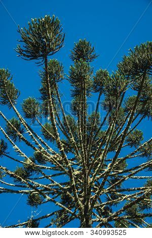 Pine Treetops Branches With Typical Needle-shaped Leaves In The Aparados Da Serra National Park Near