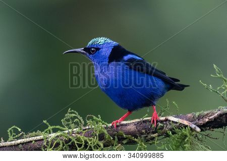 Shining Honeycreeper, Cyanerpes Lucidus, Exotic Tropical Blue Bird With Yellow Legs From Costa Rica.