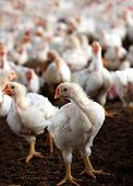 Young white hen looking at the camera with a group of other chicken behind it in a poultry farm bred especially for meat and eggs poster