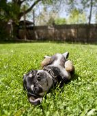 a tiny chihuahua lying in the grass poster