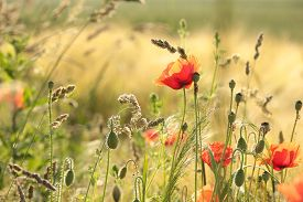 Poppy wheat field sunrise sun sunset Nature background poppies Nature background spring red wildflowers Nature background close-up poppy flowers Nature background grain field summer Nature background flowers Nature background flowers Nature background.