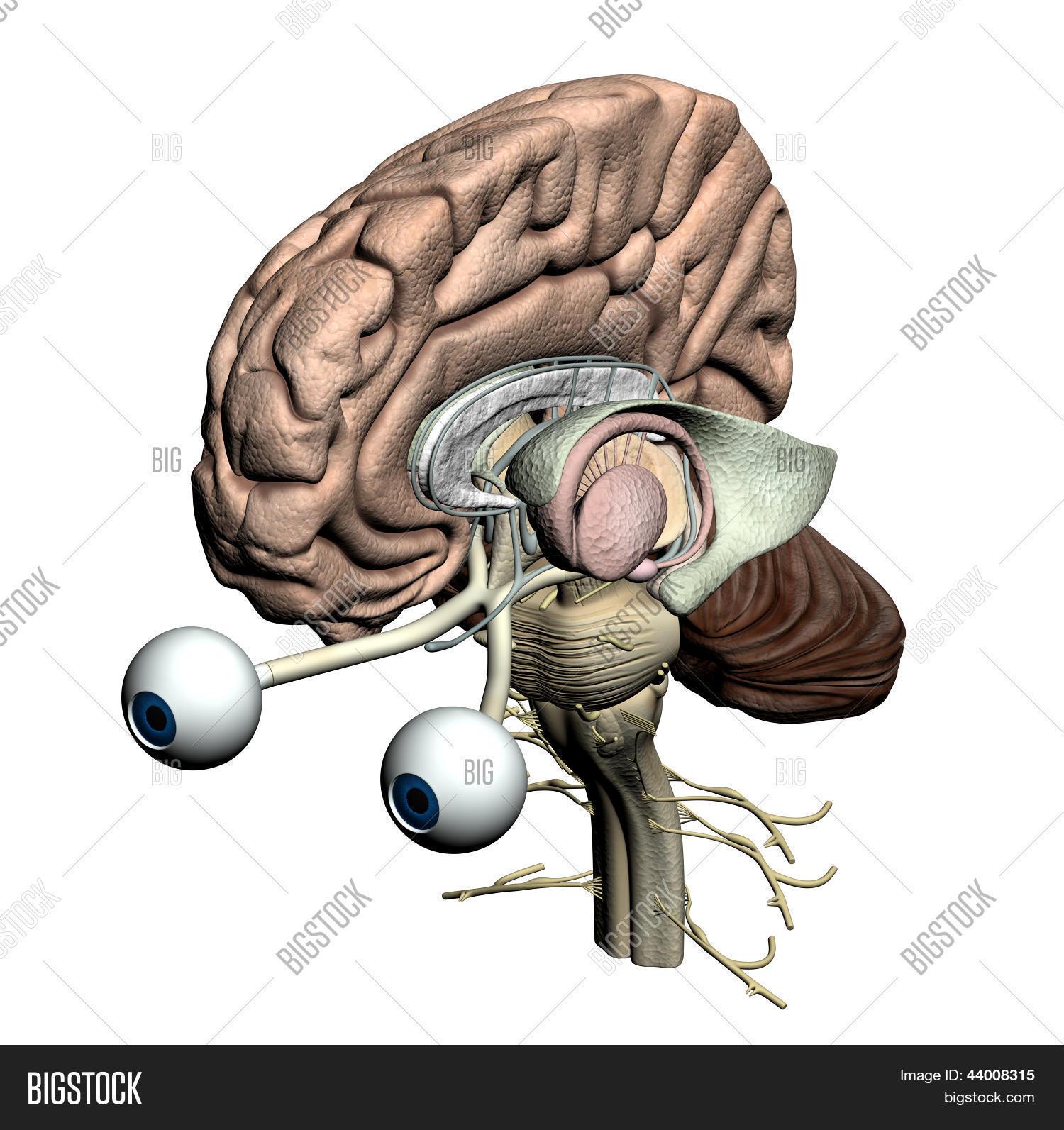 Imagen y foto Partes De Cerebro (prueba gratis) | Bigstock