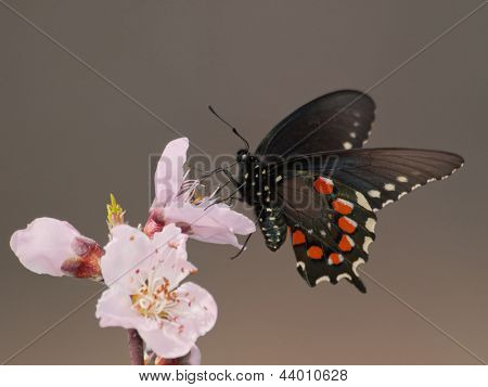 Green Swallowtail butterfly feeding on and pollination a peach blossom in early spring