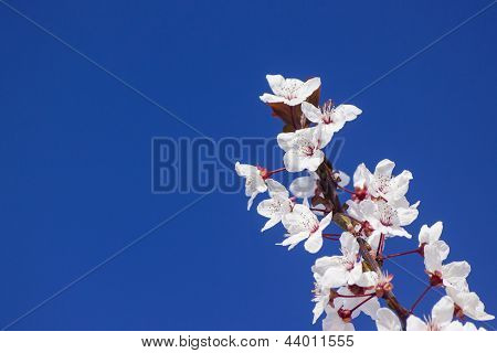 Blossoms of a Plum Tree