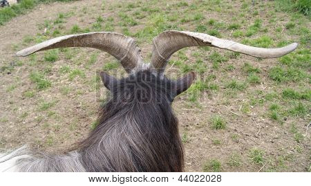 Goats Horns