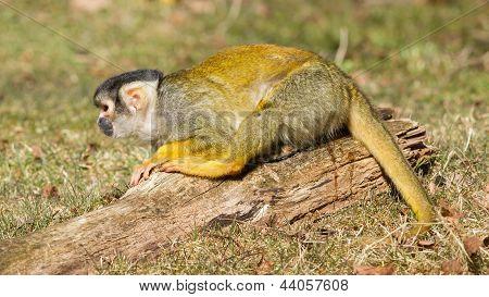 Peeing Squirrel Monkey (saimiri Boliviensis)