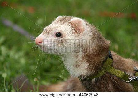 polecat on grass