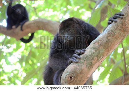 Black Howler Monkeys in Belize