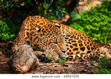 Gorgeous leopard in natural habitat poster