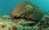 Caribbean spiny lobster coming out from under brain coral in natural habitat poster
