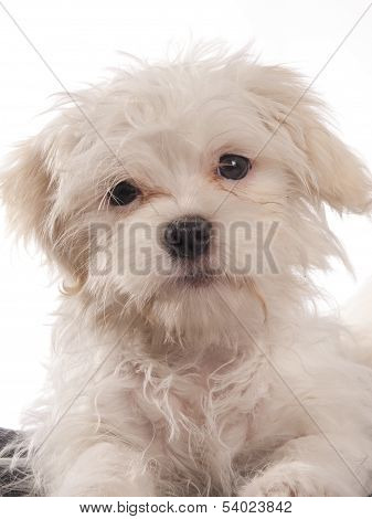 portrait of a maltese dog with white background poster